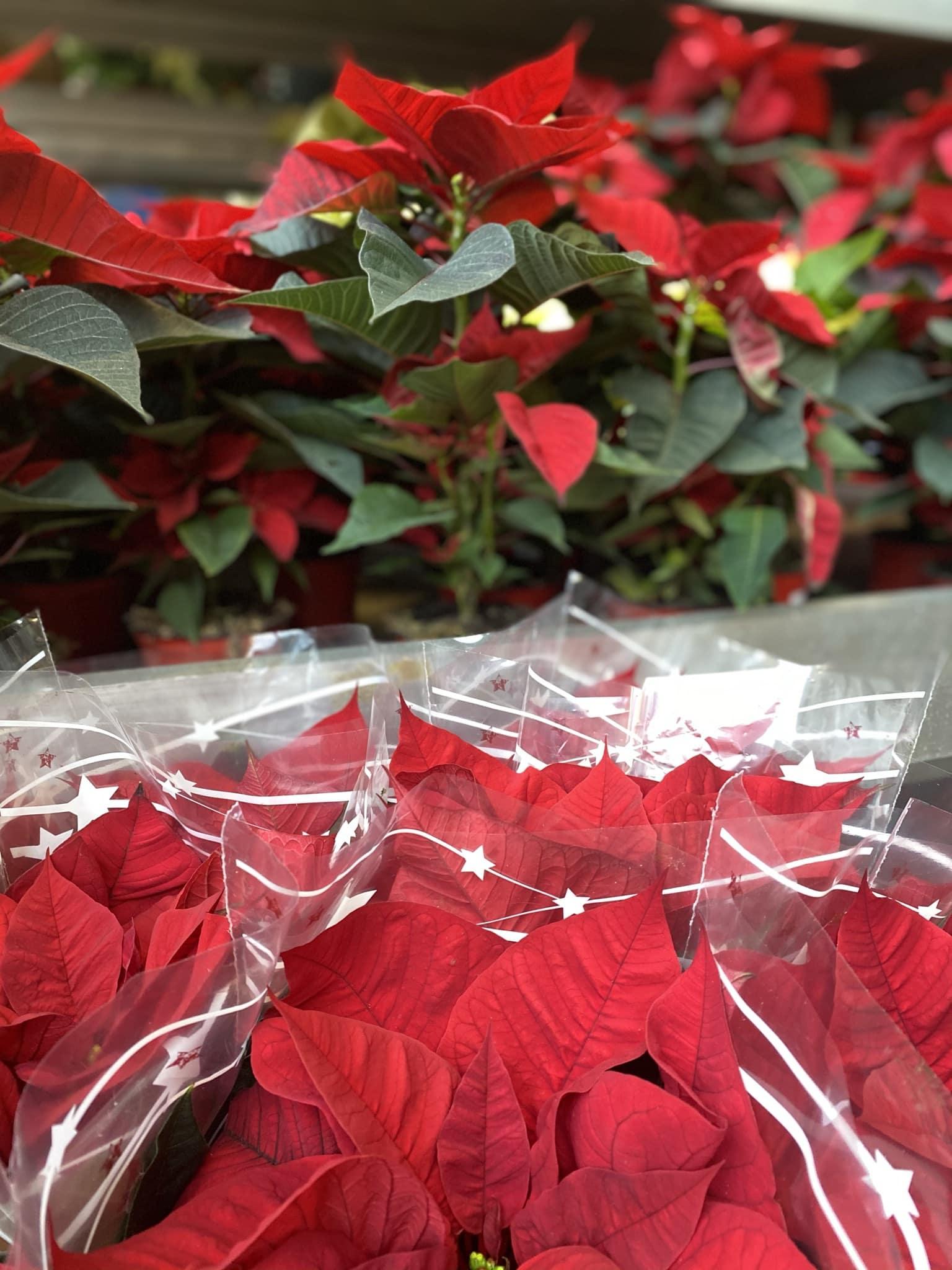 Prodej vánoční hvězdy na ZAZUMi