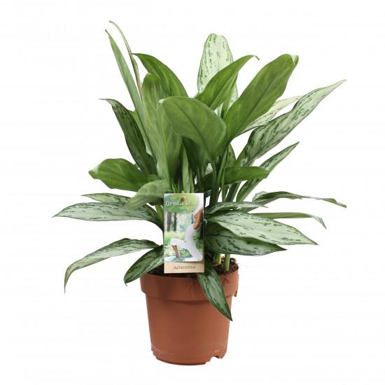Aglaonema stříbrnolistá, Aglaonema Silver Queen, průměr květináče 17 cm