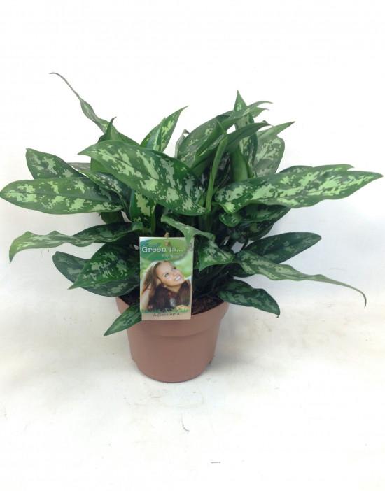 Aglaonema zelenolistá, Aglaonema Maria, průměr květináče 17 cm-2704
