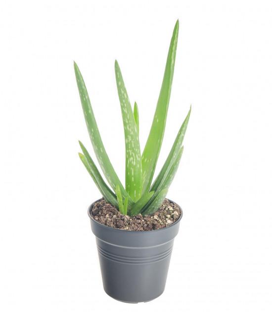 Aloe pravá, Aloe Vera, průměr květináče 10 - 12 cm