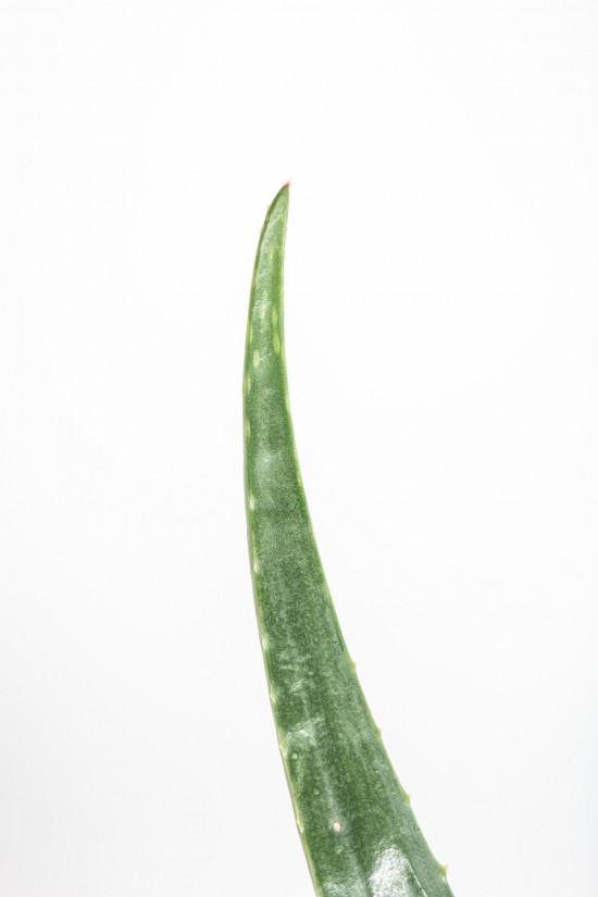 Aloe pravá, Aloe Vera, průměr květináče 13 - 15 cm-11007