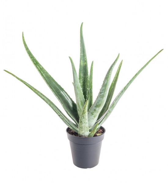 Aloe pravá, Aloe Vera, průměr květináče 13 - 15 cm-11011
