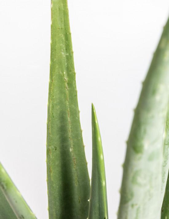 Aloe pravá, Aloe Vera, průměr květináče 16 - 17 cm-9308