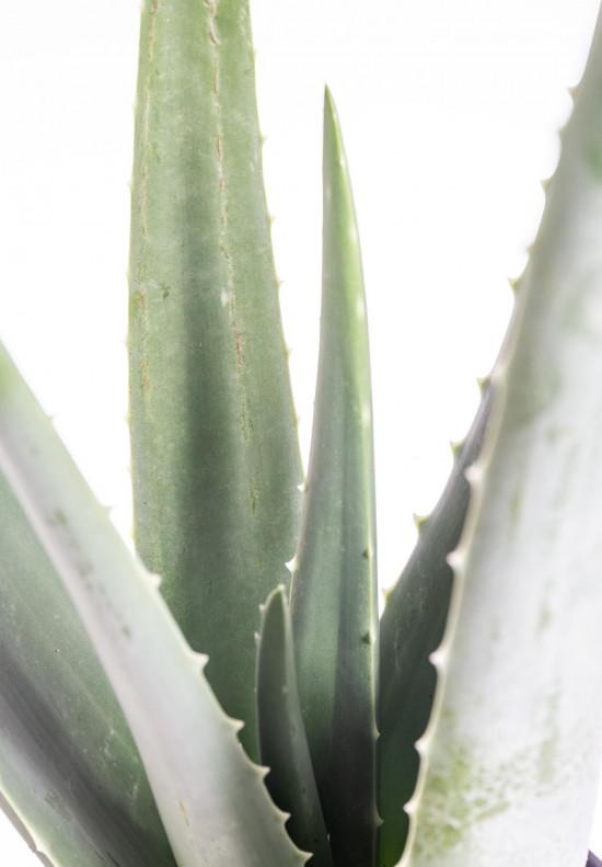 Aloe pravá, Aloe Vera, průměr květináče 16 - 17 cm-9309