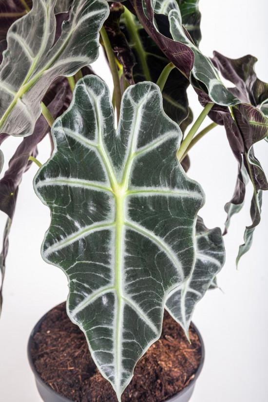 Alokázie, Alocasia polly, vícekmenná, průměr květináče 17 cm-10470