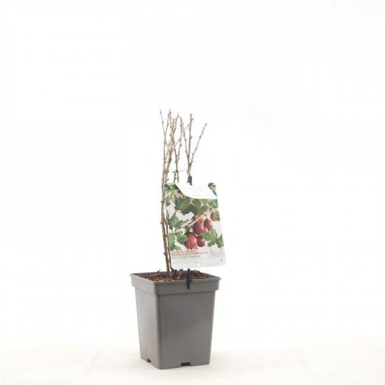 Angrešt červený, Ribes uva-crispa Captivator, velikost kontejneru 5 l-9001