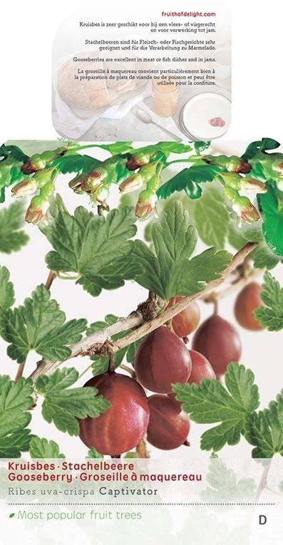 Angrešt červený, Ribes uva-crispa Captivator, velikost kontejneru 5 l-9002