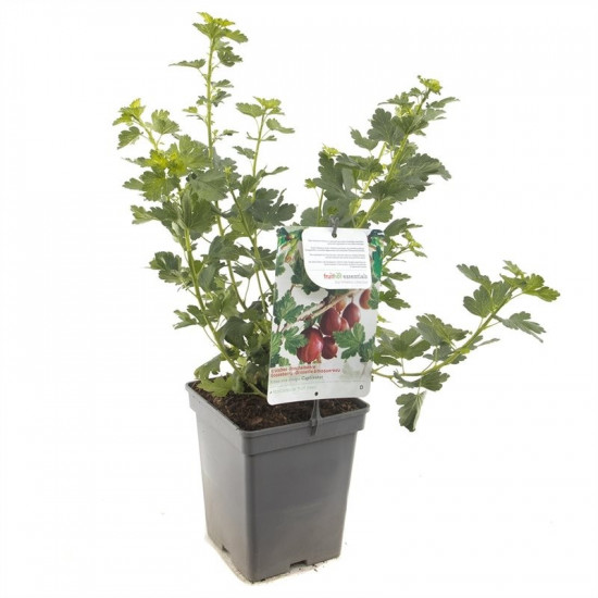 Angrešt červený, Ribes uva-crispa Captivator, velikost kontejneru 5 l