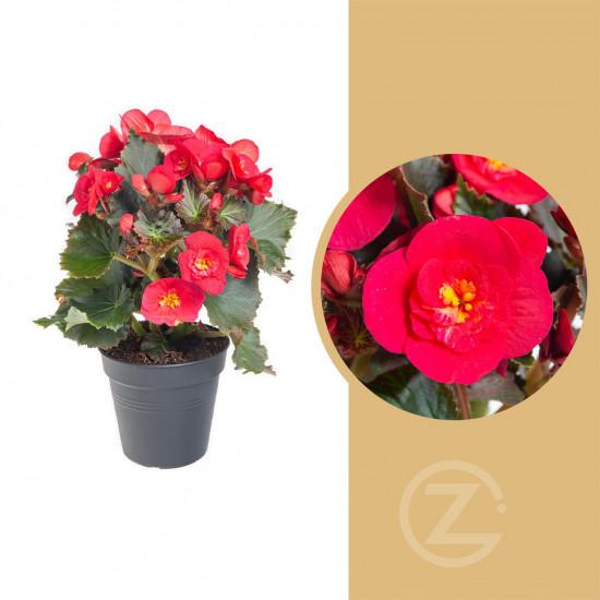 Begónie, Begonia elatior Belove Cherry, červeno - růžová