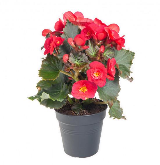 Begónie, Begonia elatior Belove Cherry, červeno - růžová-9045