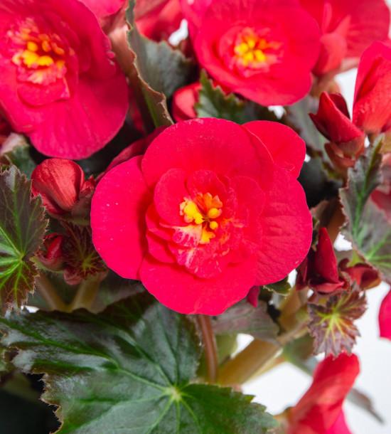 Begónie, Begonia elatior Belove Cherry, červeno - růžová-9046