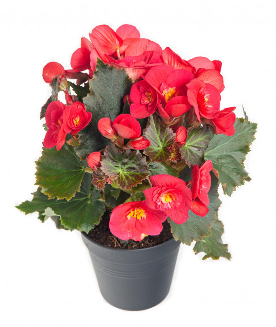 Begónie, Begonia elatior Belove Cherry, červeno - růžová-9047