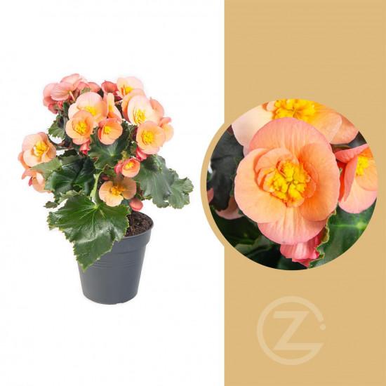 Begónie, Begonia elatior Belove Peach, meruňková