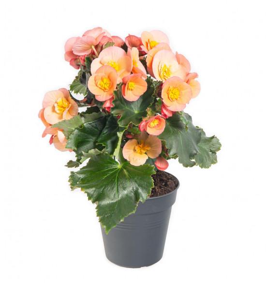Begónie, Begonia elatior Belove Peach, meruňková-9049