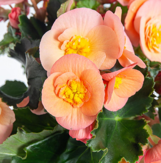 Begónie, Begonia elatior Belove Peach, meruňková-9051