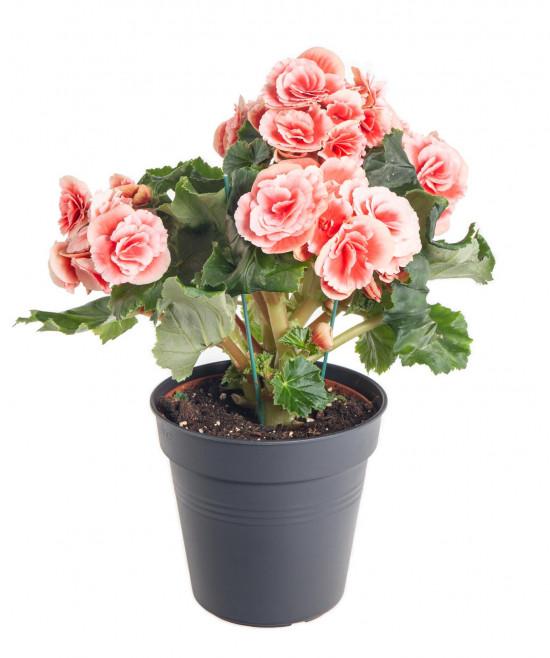 Begónie, Begonia elatior Borias, růžová-10998