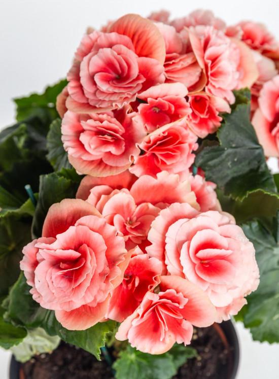 Begónie, Begonia elatior Borias, růžová-10999