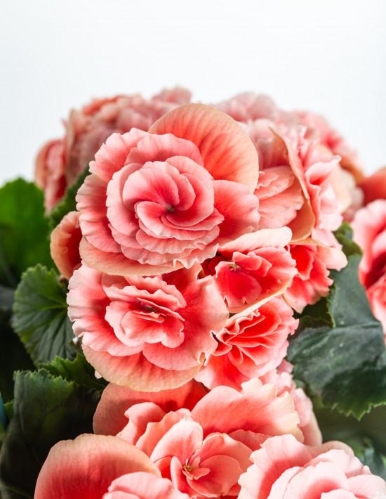 Begónie, Begonia elatior Borias, růžová-11000