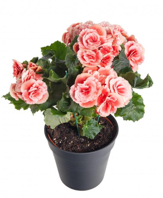 Begónie, Begonia elatior Borias, růžová-11001