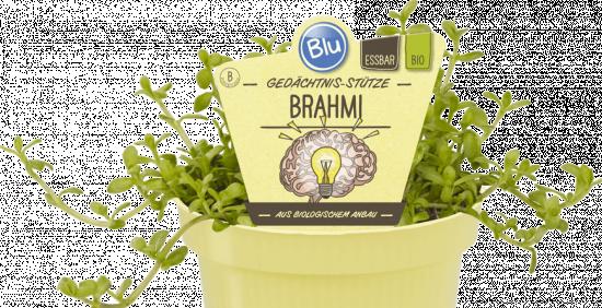Bio Bacopa drobnolistá, Bacopa monnieri - Brahmi, v květináči-2519