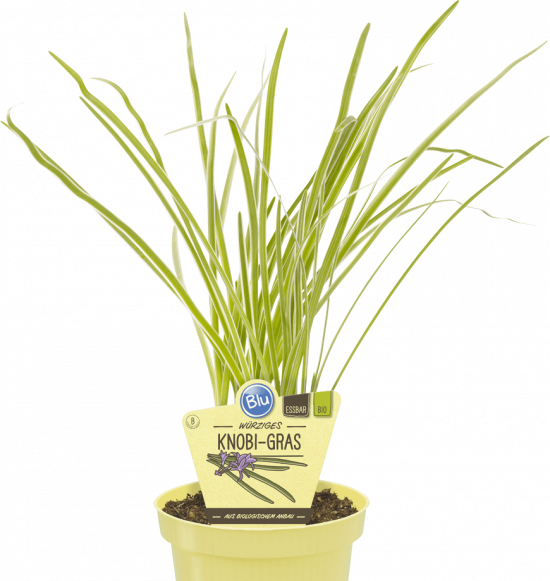 Bio Česneková tráva, Tulbaghia violacea, v květináči-2584