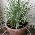 Bio Česneková tráva, Tulbaghia violacea, v květináči-2586