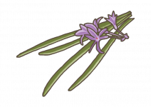 Bio Česneková tráva, Tulbaghia violacea, v květináči-2587