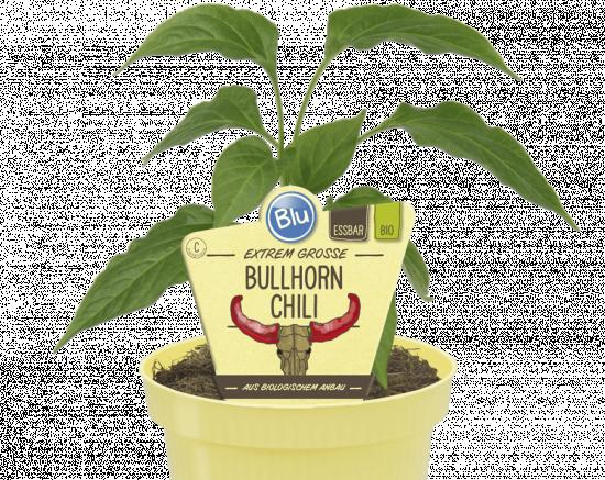"""Bio Chilli """"Bullhorn"""", Capsicum Bullhorn, v květináči"""
