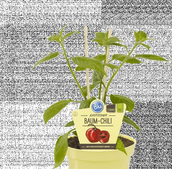 Bio Chilli peruánské, Capsicum pubescens, v květináči