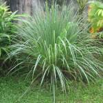 Bio Citrónová tráva, Cymbopogon citratus, v květináči-2524