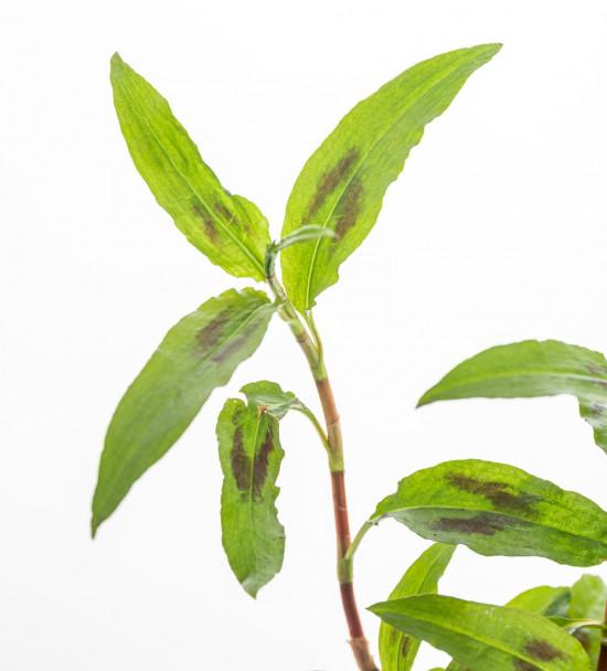 Bio Koriandr vietnamský, Persicaria odorata, v květináči-7627