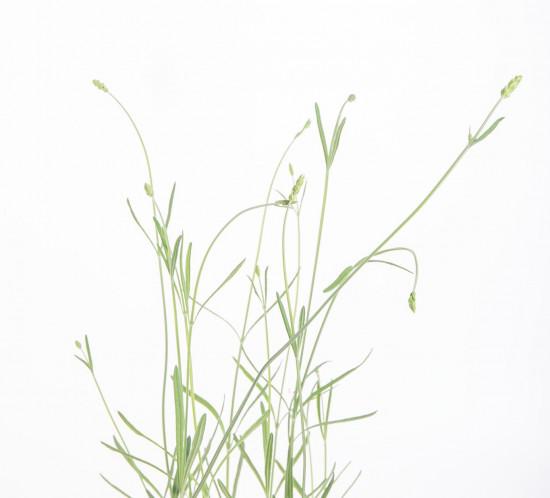 Bio Levandule lékařská, Lavender angustifolia EATME, v květináči-10388