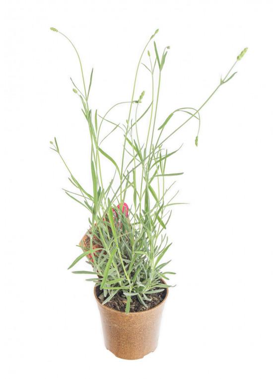 Bio Levandule lékařská, Lavender angustifolia EATME, v květináči-10389