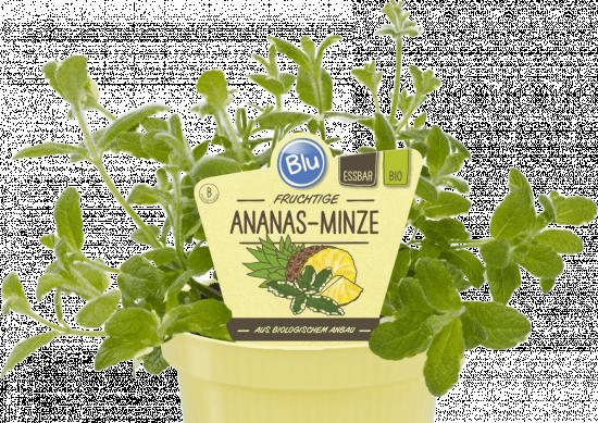 Bio Máta ananasová, Mentha suaveolens Variegata, v květináči-2534