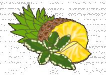 Bio Máta ananasová, Mentha suaveolens Variegata, v květináči-2536