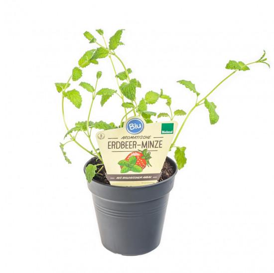 Bio Máta jahodová, Mentha species, v květináči