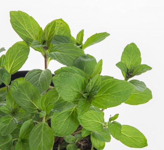Bio Máta japonská léčivá, Mentha arvensis, v květináči-7861