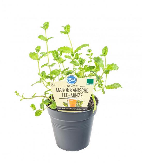 Bio Máta marocká, Mentha spicata, v květináči