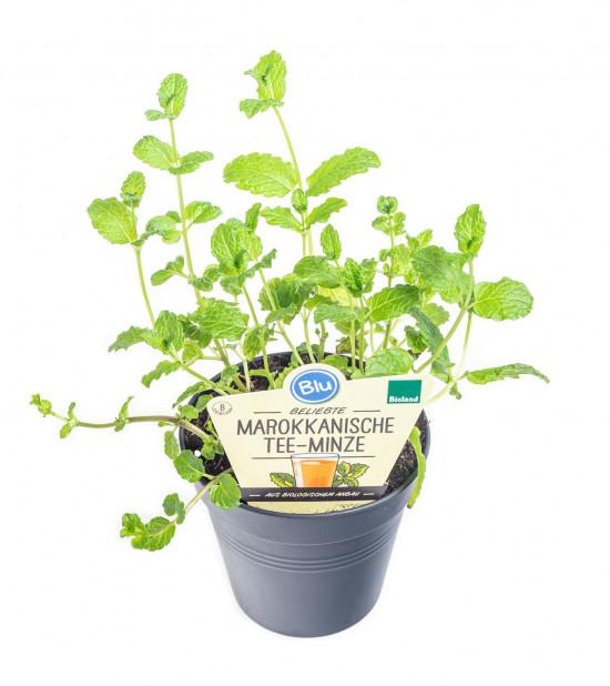 Bio Máta marocká, Mentha spicata, v květináči-8935