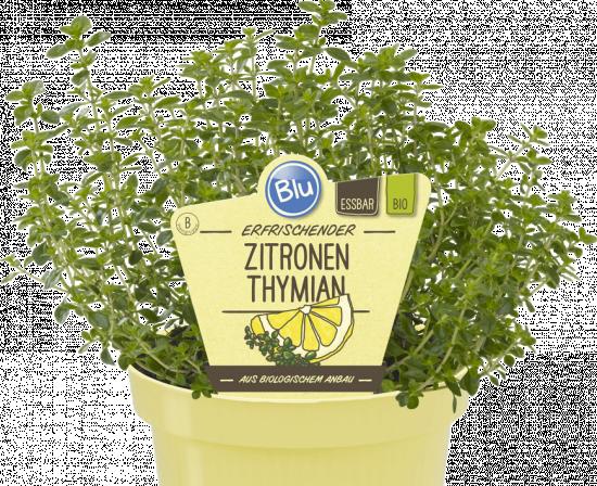 Bio Mateřídouška citronová, Thymus citriodorus, v květináči-2576