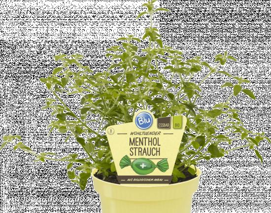 Bio Mentholový keř, Prostanthera rotundifolia, v květináči