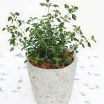 Bio Mentholový keř, Prostanthera rotundifolia, v květináči-2551