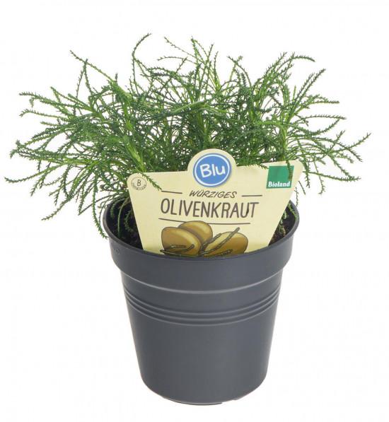 Bio Olivová bylinka, Santolina viridis, v květináči
