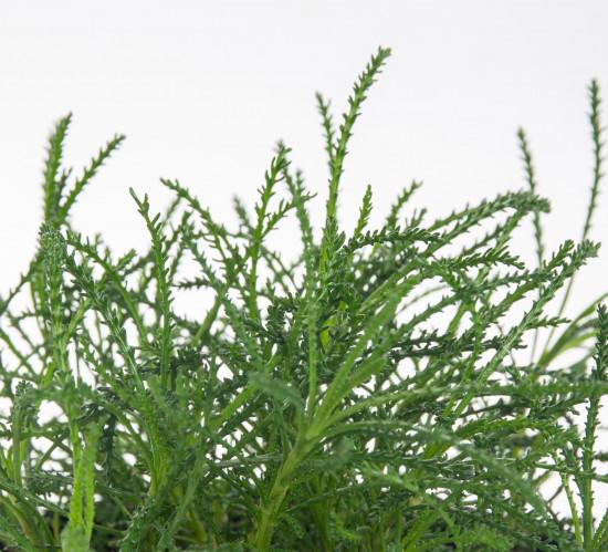 Bio Olivová bylinka, Santolina viridis, v květináči-7623