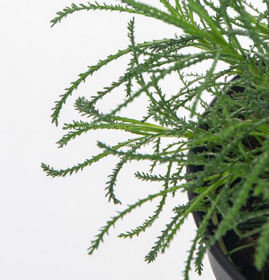 Bio Olivová bylinka, Santolina viridis, v květináči-7624