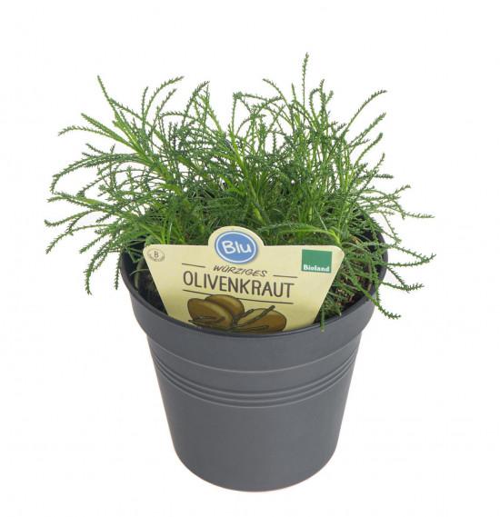Bio Olivová bylinka, Santolina viridis, v květináči-7625