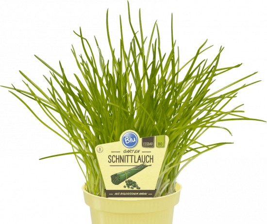 Bio Pažitka pobřežní, Allium schoenoprasum, v květináči-2515