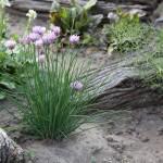 Bio Pažitka pobřežní, Allium schoenoprasum, v květináči-2517