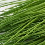 Bio Pažitka pobřežní, Allium schoenoprasum, v květináči-2518