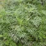 Bio Pelyněk Coca - Cola, Artemisia abrotanum, v květináči-2594